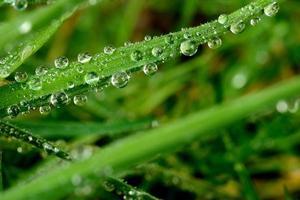 pärlstav gräs
