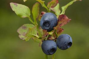 heidelbeere - blåbär foto