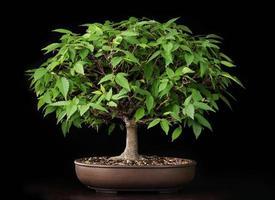 bonsai sommar alm träd foto