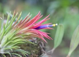 blommande tillandsia ionantha