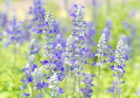 blå salvia blomma