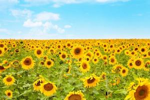 landskap - solrosor foto
