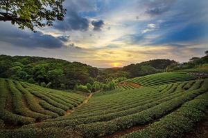 teplantage landskap solnedgång