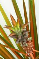 miniatyr röd ananas foto