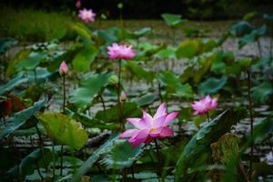 lotus damm i krating vattenfall nationalpark iat chantaburi, Thailand foto