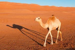 kamel i öknen foto