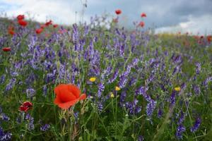 lantligt landskap - lavendel och röda vallmo foto