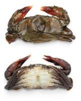 rå soft shell krabba foto