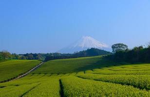 mt.fuji och teplantage foto