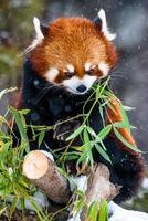 röd panda som äter bambu foto
