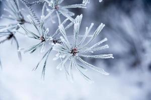nålar på vintern foto