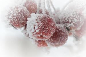 röda crabapples på vintern foto