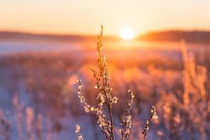 frostigt gräs vid vintern solnedgång foto