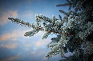 vinterfrost på granträd foto
