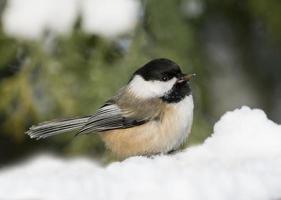 svartkapslad chickadee på vintern