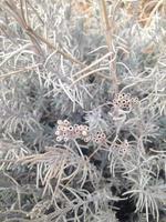 lavendelväxt på vintern foto