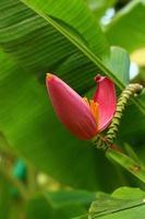 banan prydnads, blomma av banan foto