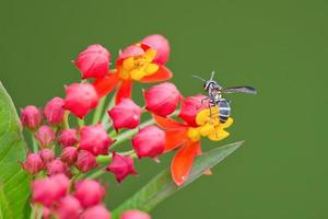 närbild av geting som pollineras på röda och gula blommor foto