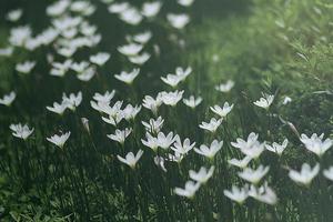 fairy lily foto