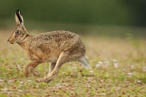 europeisk brun hare (lepus europaeus) foto