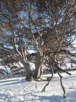 blå gummiträd vid perisher