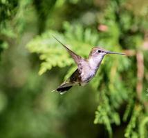 rubin halsade kolibri femail. foto