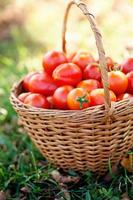 nyskördade tomater foto