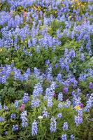 alpina vilda blommor foto
