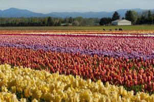 våren tulpan fält foto