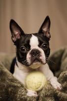 boston terrier med tennisboll foto