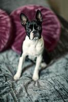 boston terrier på sängen foto