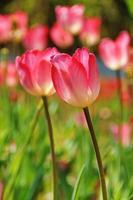 rosa tulpaner foto