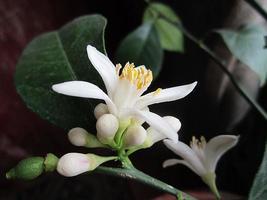 blomma citron foto