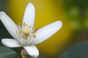 närbild av citronblomning som hänger på ett träd foto