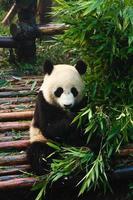 panda som äter bambu foto