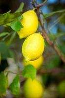 färska mogna citroner som hänger på trädgren på trädgården foto