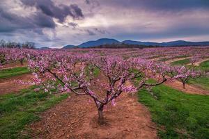 carolina persikaträd foto