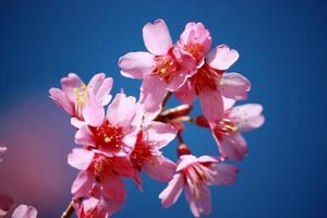 persika träd blommar, persika blommar under blå himmel foto