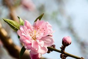 blommande persikablomma foto