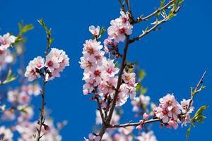 rosa blommor blommande persikaträd på våren