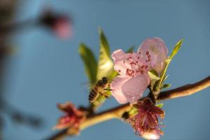 persikablomning på våren foto