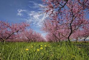 persikaträd i blom.