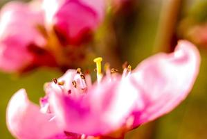 vackra subtila färger av stamens, makro, foto