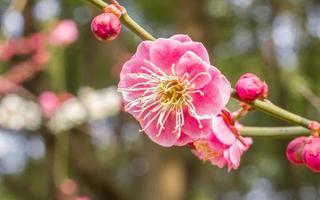 blommor i vårserien: plommon som blommar på våren foto