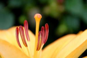 gul persika lilly nära upp kronblad stamen detaljer foto