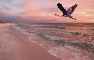 stora blå häger flyger över stranden vid solnedgången foto