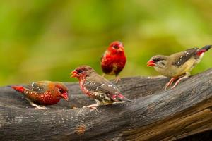grupp av röd avadavat (amandava amandava) foto