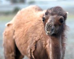 baktrian kamel foto