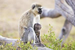 afrikansk apa och hennes barn sitter tillsammans foto