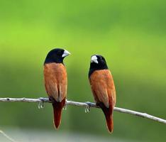 söta par svarthuvade munia fågel som sätter sig tillsammans foto